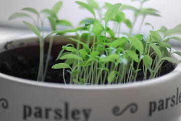 195-parsley_5[1]