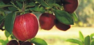 βιολογικά μήλα