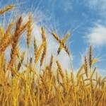Έρευνα ενοχοποιεί μεταλλαγμένο σιτάρι για ηπατική ανεπάρκεια
