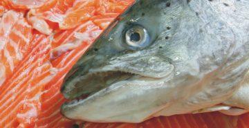 μεταλλαγμένο ψάρι