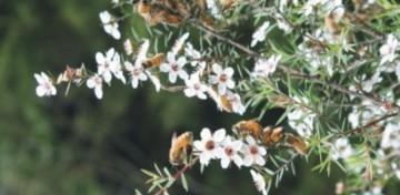 μέλι Μανούκα